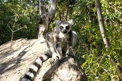 Katta (Maki catta), Madagaskar Lizenzfreie Stockfotos