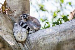 Katta (Maki catta) sitzen auf dem Baum Stockfotografie
