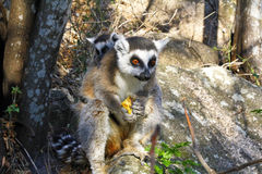 Katta (Maki catta) und nette Schale, Madagaskar Stockbild