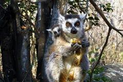 Katta (Maki catta) und nette Schale, Madagaskar Lizenzfreie Stockfotos