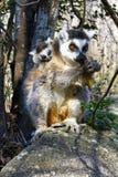 Katta (Maki catta) und nette Schale, Madagaskar Lizenzfreie Stockfotografie