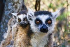 Katta (Maki catta) und nette Schale, Madagaskar Lizenzfreies Stockbild