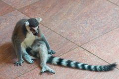 Katta oder Maki catta im Zoo Lizenzfreies Stockfoto