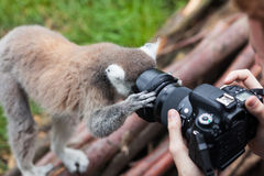 Katta schaut in camera Linse Lizenzfreies Stockfoto