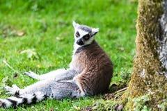 Katta, ursprünglich von Madagaskar, ist durch sein schwarzes und weiß-beringtes Endstück erkennbar stockfotos