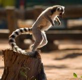 Katta zu der Zeit des Sprunges madagaskar Lizenzfreies Stockfoto