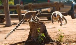 Katta zu der Zeit des Sprunges madagaskar Stockfotos