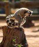 Katta zu der Zeit des Sprunges madagaskar Lizenzfreie Stockfotografie