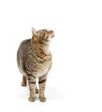 Kattanseende på vit bakgrund och spotrit upp Fotografering för Bildbyråer