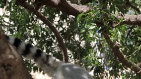 Kattasitzen des Zoos stock video footage