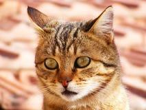 Kattbilder, kattögon, bilder av de mest härliga kattögonen, gullig katt, oskyldiga kattbilder, närbildkattbilder, brun katt fotografering för bildbyråer