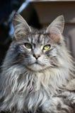 kattcoonmaine pedigree Royaltyfri Bild