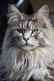 kattcoonmaine pedigree Royaltyfri Fotografi