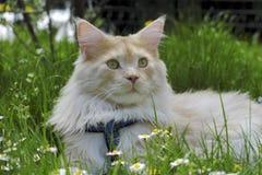 kattcoonmaine stående Arkivfoto