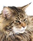 kattcoonmaine stående Arkivfoton
