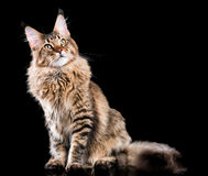 kattcoonmaine stående Royaltyfri Fotografi