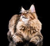 kattcoonmaine stående Arkivbild