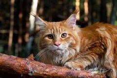 kattcoonmaine tree Fotografering för Bildbyråer