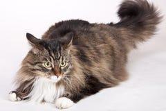 kattcoonströmförsörjning Arkivfoto