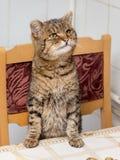 Katten är värde som sätter framdelen, tafsar på tabellen, frågar till eat_ arkivbilder