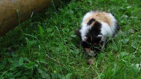 Katten äter fisken på gräset stock video