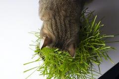 Katten äter gräset royaltyfria foton
