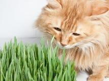 katten äter ljust rödbrun gräs Arkivbilder