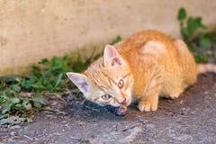 Katten äter musen Arkivfoto