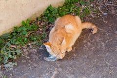 Katten äter musen Fotografering för Bildbyråer