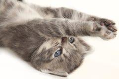 Katten behandla som ett barn hans elasticiteter tafsar Arkivfoto