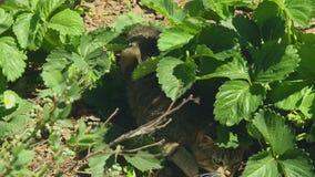Katten döljer från solen i jordgubbebuskarna lager videofilmer