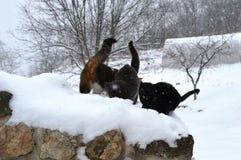Katten in de sneeuw Royalty-vrije Stock Afbeeldingen