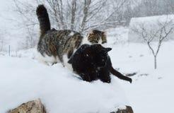 Katten in de sneeuw Stock Foto