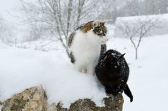Katten in de sneeuw Stock Foto's