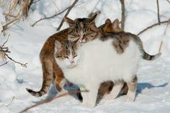 Katten in de winter op sneeuw Stock Afbeelding
