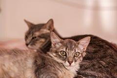 Katten die aan de camera stellen Royalty-vrije Stock Foto