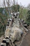 Katten, die auf einem Baum in einem Zoo sitzen Lizenzfreie Stockfotos