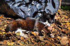 Katten die in de bladeren, de herfst slapen Royalty-vrije Stock Afbeelding