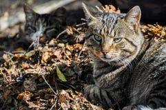 Katten die in de bladeren, de herfst slapen Royalty-vrije Stock Afbeeldingen