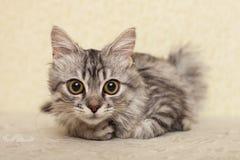Katten en chinchilla Royaltyfri Foto