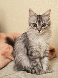 Katten en chinchilla Royaltyfria Bilder