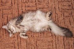 Katten en chinchilla Arkivfoton
