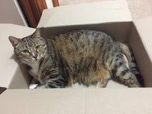 Katten en Dozen | Hogere Diabetes Mannelijke Tabby Cat Royalty-vrije Stock Afbeelding