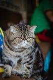 katten eyes grå yellow arkivfoton