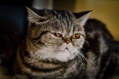 katten eyes grå yellow Arkivbilder