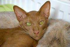 katten eyes grönt orientaliskt nätt royaltyfria bilder