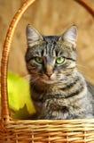 katten eyes green Arkivfoto