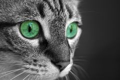 katten eyes green Royaltyfria Bilder
