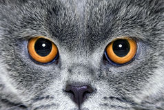 katten eyes yellow Royaltyfri Bild