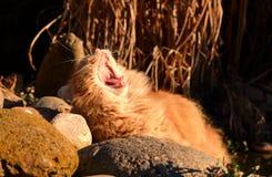 Katten gäspar på solnedgången Arkivfoto